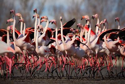 Flock of Greater Flamingo, Phoenicopterus Ruber, Nice Pink Big Bird, Dancing in the Water, Animal I-Ondrej Prosicky-Photographic Print