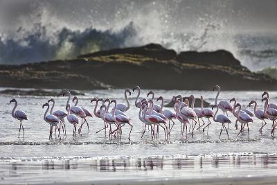 Flock Of Greater Flamingos (Phoenico Ruber), Diaz Point, Luderitz, South Atlantic Ocean, Namibia-Karine Aigner-Photographic Print