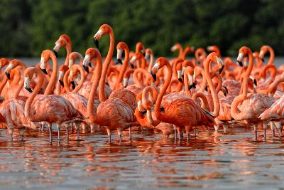 Flock of Greater Flamingos-zixian-Photographic Print