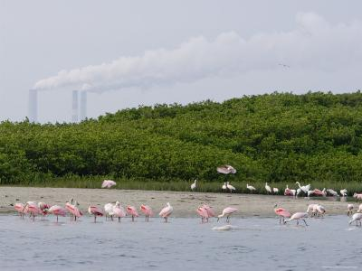 Flock of Juvenile and Adult Roseate Spoonbills, Tampa Bay, Florida-Tim Laman-Photographic Print