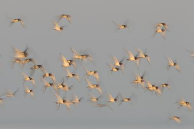Flock of Oystercatchers (Haematopus Ostralegus) in Flight, the Wash Estuary, Norfolk, England, UK-Peter Cairns-Photographic Print