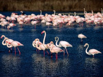 Flock of Pink Flamingoes, Camargue, France-Jean-Bernard Carillet-Photographic Print