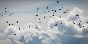 Flock of Puffin (Fratercala Arctica) Flying over Reykjavik, Harbor, Reykjavik, Iceland