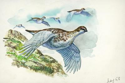 Flock of Rock Ptarmigans Lagopus Muta in Flight--Giclee Print