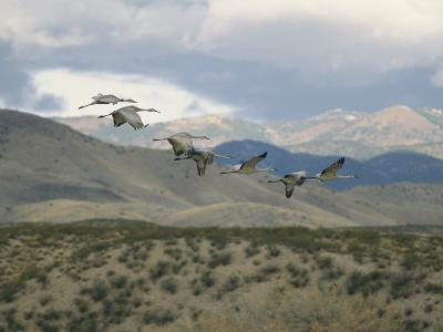Flock of Sandhill Cranes in Flight over a Hilly Landscape-Marc Moritsch-Photographic Print