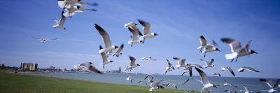 Flock of Seagulls Flying on the Beach, New York, USA--Photographic Print