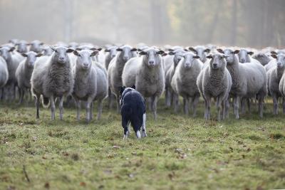 Flock of Sheep and Dog-MarcusRudolph.nl-Photographic Print