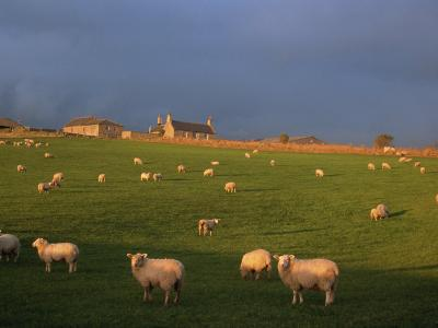 Flock of Sheep and Farmouse in Scottish Countryside, Scotland, United Kingdom, Europe-James Gritz-Photographic Print