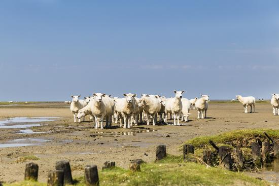 Flock of Sheep at Coast of the Northern Sea- Photo-Active-Photographic Print