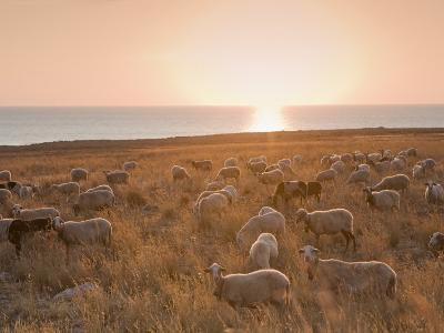 Flock of Sheep at Sunset by the Sea, Near Erice, Western Sicily, Italy, Europe-Mark Banks-Photographic Print