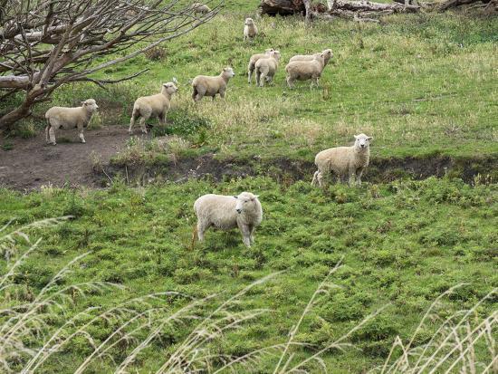 Flock of sheep grazing in a field, State Highway 1, Taihape, Manawatu-Wanganui, North Island, Ne...--Photographic Print