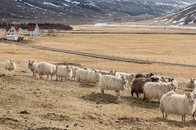 Flock of Sheep, Iceland--Photographic Print