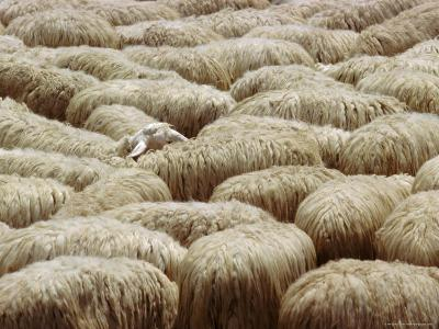 Flock of Sheep, Sardinia, Italy, Mediterranean, Europe-Oliviero Olivieri-Photographic Print