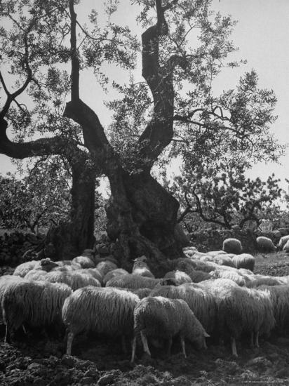 Flock of Sheep under an Olive Tree-Alfred Eisenstaedt-Photographic Print