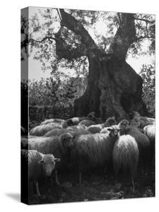 Flock of Sheep under an Olive Tree