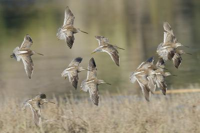 Flock of Short-Billed Dowitchers in Flight-Hal Beral-Photographic Print