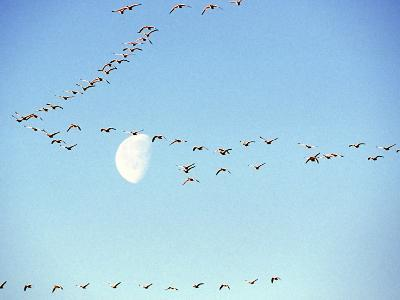 Flock of Snow Geese Flies before a Setting Moon, Washington, USA-William Sutton-Photographic Print