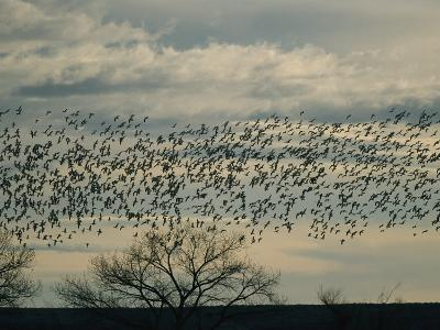 Flock of Snow Geese in Flight at Twilight-Marc Moritsch-Photographic Print