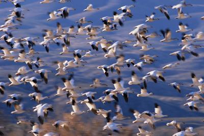 Flock of Snow Geese in Flight-DLILLC-Photographic Print