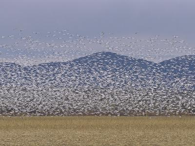 Flock of Snow Geese Take Flight in Bosque Del Apache Wildlife Refuge-Marc Moritsch-Photographic Print