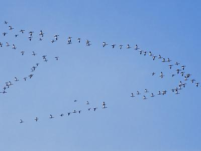 Flock of Snow Goose in Formation-Steve Maslowski-Photographic Print