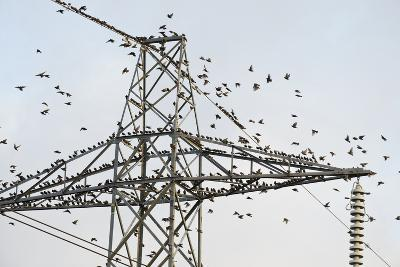 Flock of Starlings (Sturnus Vulgaris) Flying to Roost on Electricity Pylon-Terry Whittaker-Photographic Print