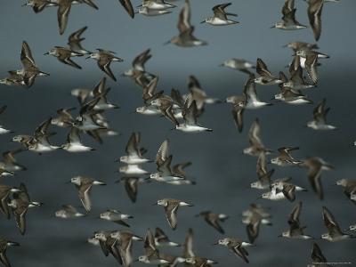 Flock of Western Sandpipers in Flight-Klaus Nigge-Photographic Print