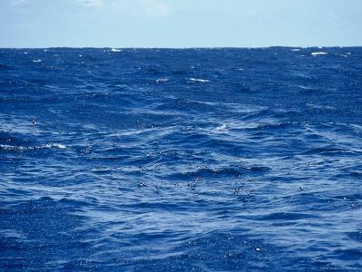 Flock of Wilsons Storm Petrels Feeding on the Ocean Surface, Australia-Jason Edwards-Photographic Print
