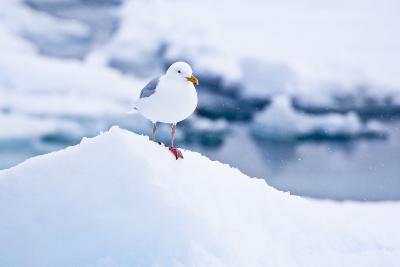 Floe, Glaucous Gull, Larus Hyperboreus-Frank Lukasseck-Photographic Print