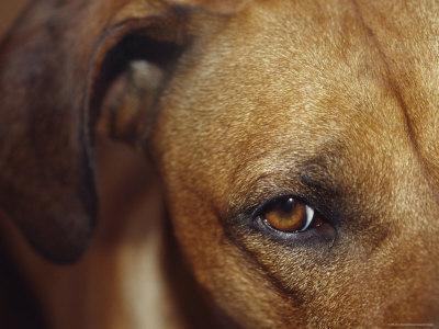 https://imgc.artprintimages.com/img/print/floopy-ear-and-watchful-stare-of-a-rhodesian-ridgeback-dog-north-carlton-australia_u-l-p2ws4h0.jpg?p=0