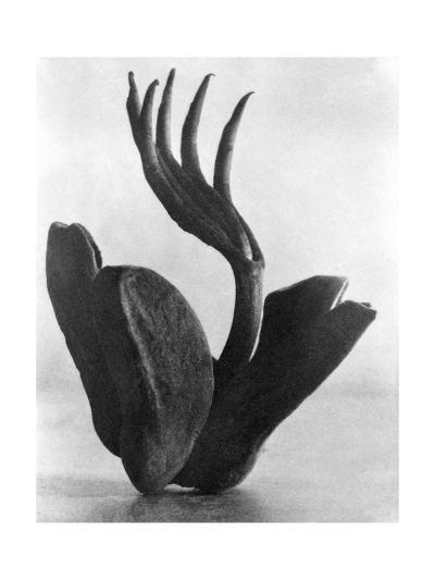 Flor de Manita, Mexico City, 1925-Tina Modotti-Photographic Print