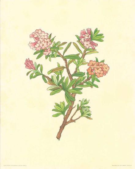 Flore Alpine IV- Vannter & Kunstv-Art Print