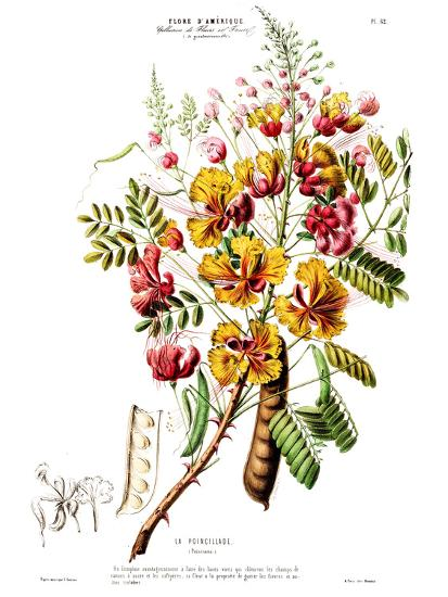 Flored Amerique Lapoincillade- New York Botanical Garden-Art Print