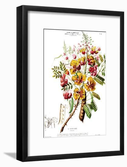 Flored Amerique Lapoincillade-New York Botanical Garden-Framed Art Print
