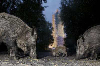 Wild Boar (Sus Scrofa) Sow by Florian Mallers