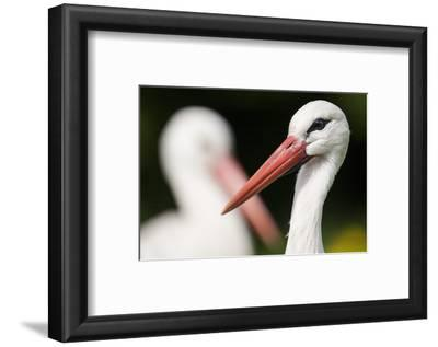 White Stork (Ciconia Ciconia) Adult Portrait, Captive, Vogelpark Marlow, Germany, May