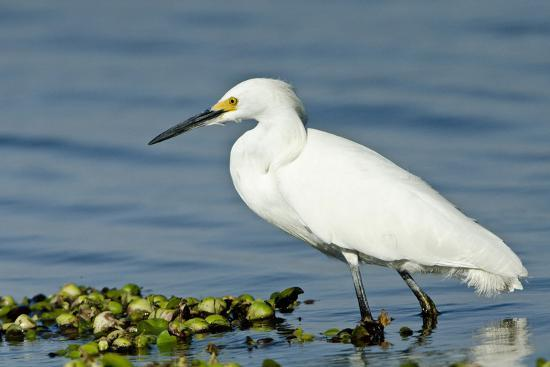 Florida, Immokalee, Snowy Egret Hunting-Bernard Friel-Photographic Print