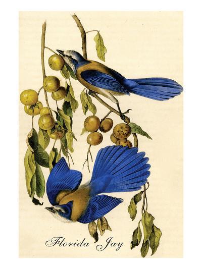 Florida Jay-John James Audubon-Art Print