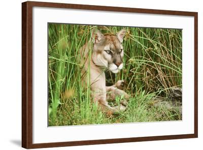 Florida Panther--Framed Photographic Print