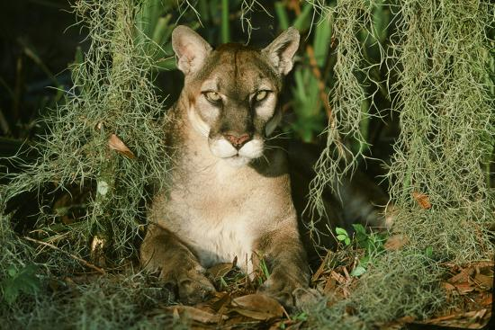 Florida Panther--Photographic Print