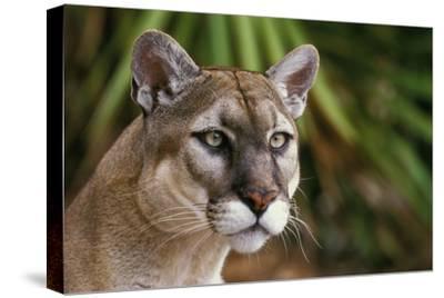 Florida Puma