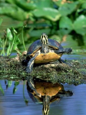 https://imgc.artprintimages.com/img/print/florida-redbelly-turtle-sunning-usa_u-l-q10reae0.jpg?p=0