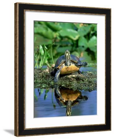 Florida Redbelly Turtle, Sunning, USA-Stan Osolinski-Framed Photographic Print