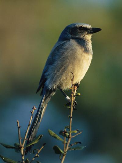 Florida Scrub Jay (Aphelocama Coerulescens Coerulescens), Banded for Identification-Joel Sartore-Photographic Print