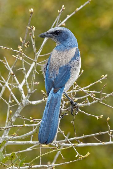 Florida scrub jay, Aphelocoma coerulescens Cruickshank Sanctuary, Florida.-Adam Jones-Photographic Print