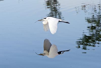 Florida, Venice, Audubon Sanctuary, Common Egret Flying-Bernard Friel-Photographic Print