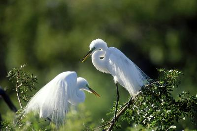 Florida, Venice, Audubon Sanctuary, Common Egret in Breeding Plumage-Bernard Friel-Photographic Print