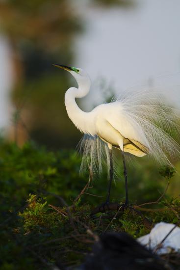 Florida, Venice, Audubon Sanctuary, Common Egret Stretch Performance-Bernard Friel-Photographic Print