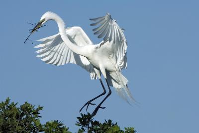 Florida, Venice, Audubon Sanctuary, Common Egret with Nesting Material-Bernard Friel-Photographic Print
