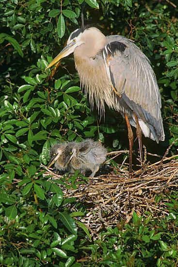 Florida, Venice, Great Blue Heron at Nest with Two Baby Chicks in Nest-Bernard Friel-Photographic Print